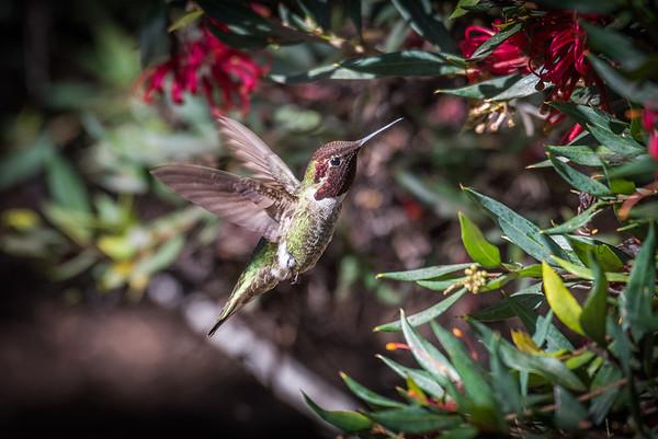 Anna's Hummingbird | Pictures of hummingbirds, UC Santa Cruz Arboretum