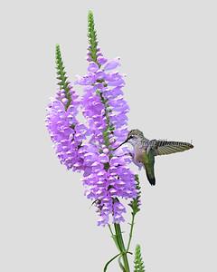 Hummingbird # 6731 ( 8X10 ) C