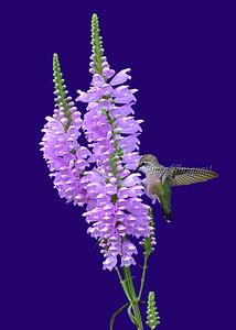 Hummingbird # 6731 ( 5X7  ) B