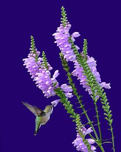 Hummingbird 6832