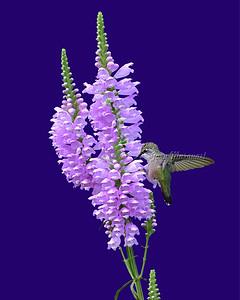 Hummingbird 6731 (11X14)
