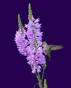 Hummingbird # 6731 ( 8X10 ) A
