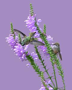 Hummingbird 6803