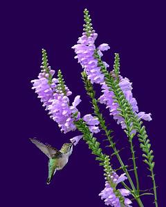 Hummingbird # 6832 ( 8X10 ) A