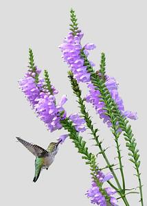 Hummingbird # 6832 ( 5X7 ) C