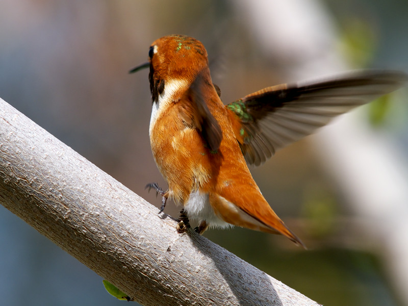 Rufous Hummingbird Male.