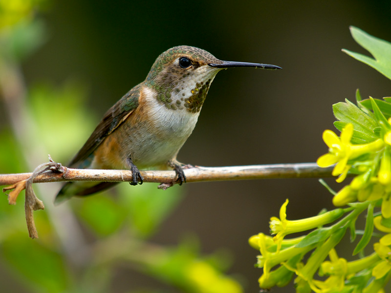 Rufous Hummingbird Female.