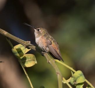 Allen`s Hummingbird  Guajomi Park 2019 09 14-1.CR2