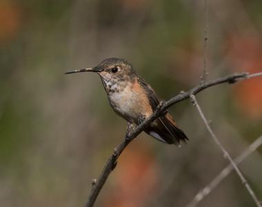 Allen`s Hummingbird Sorento Valley 2019 04 13-4.CR2