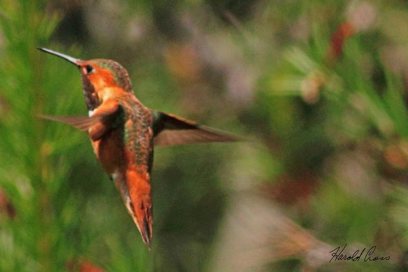 An Allen's Hummingbird taken April 24, 2010 near Bridgeville, CA.