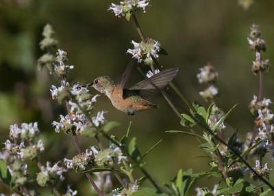 Allen`s Hummingbird Sorento Valley 2019 04 13-1.CR2