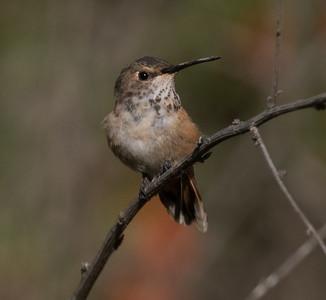 Allen`s Hummingbird Sorento Valley 2019 04 13-5.CR2