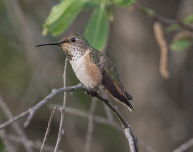 Allen`s Hummingbird Camp Pendleton 2016 01 16-1.CR2