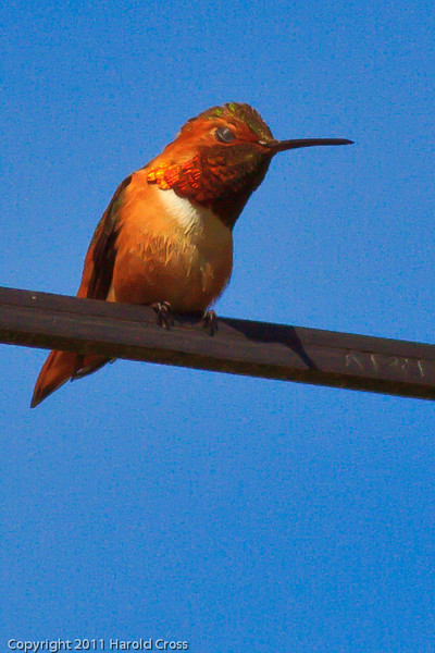 An Allen's Hummingbird taken June 12, 2011 near Bridgeville, CA.