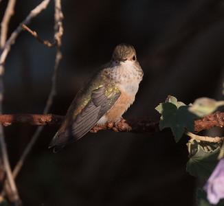 Allen`s Hummingbird Guajomi Regional Park 2019 02 20-1.CR2