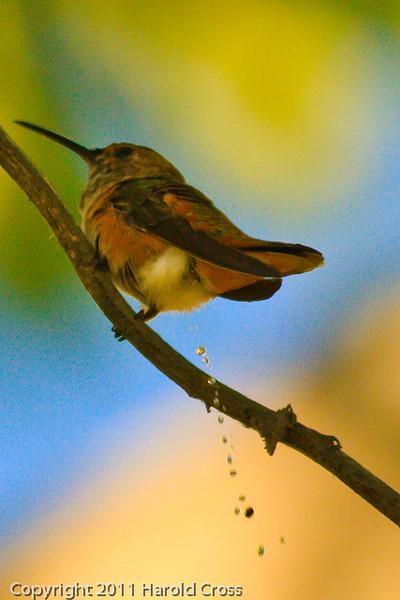 An Allen's Hummingbird taken Oct. 1, 2011 near Los Angeles, CA.