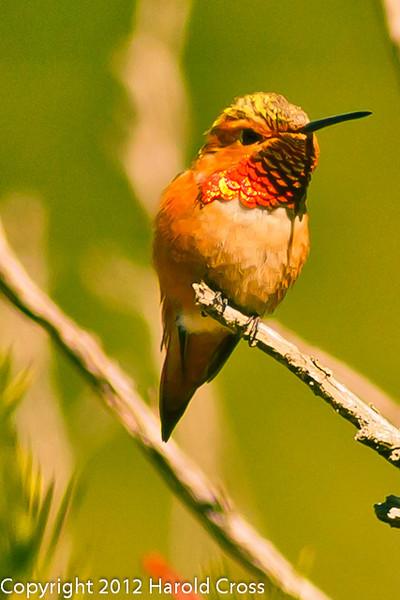 An Allen's Hummingbird taken Jun. 20, 2012 in Bridgeville, CA.