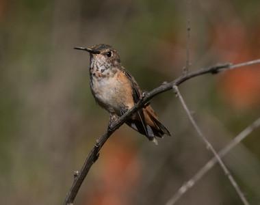 Allen`s Hummingbird Sorento Valley 2019 04 13-3.CR2