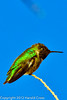 An Anna's Hummingbird taken Feb. 6, 2012 in Tucson, AZ.