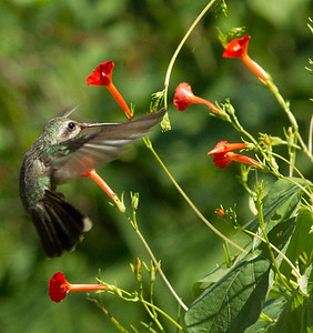 Anna`s Hummingbird near Patagonia Arizona 2011 08 18-2.CR2