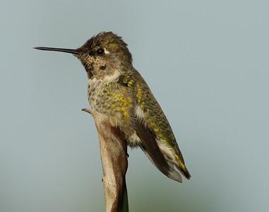 Anna`s Hummingbird  Aviara 2013 08 21 (2 of 3).CR2