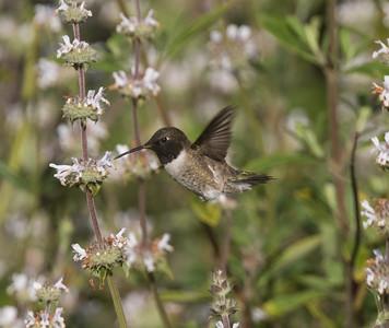 Black-chinned Hummingbird Sorento Valley 2019 04 13-1.CR2