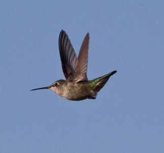 Anna`s Hummingbird  Batiqquitos Lagoon 2013 09 27-1.CR2