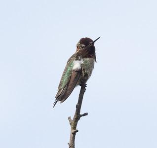 Anna`s Hummingbird Encinitas 2021 05 01-217.CR3