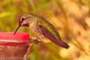 An Anna's Hummingbird taken Nov. 3, 2011 near Tucson, AZ.
