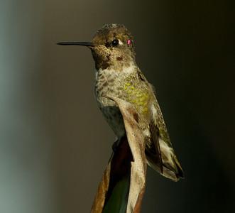 Anna`s Hummingbird  Aviara 2013 08 21 (3 of 3).CR2