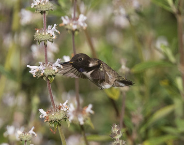 Black-chinned Hummingbird Sorento Valley 2019 04 13-2.CR2