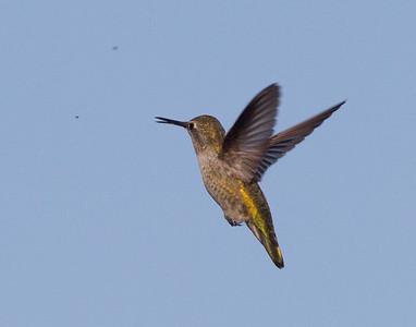 Anna`s Hummingbird  Batiqquitos Lagoon 2013 09 27-2.CR2