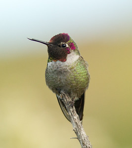 Anna`s Hummingbird Aviara 2011 12 20 (4 of 4).CR2