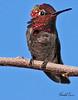 An Anna's Hummingbird taken Feb 6, 2010 in Gilbert, AZ.
