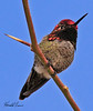 An Anna's Hummingbird taken Feb 5, 2010 in Gilbert, AZ.