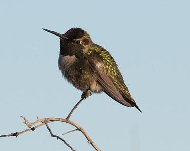 Anna`s Hummingbird San Dieguito Lagoon 2018 01 24 (2 of 2).CR2