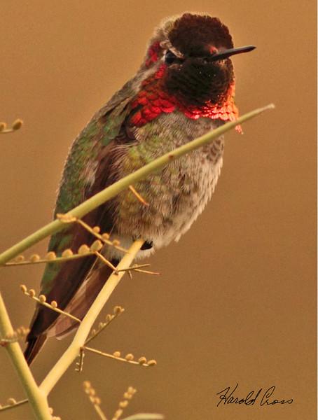 An Anna's Hummingbird taken Feb 5, 2010 in Gilbert, AZ.
