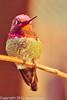 An Anna's Hummingbird taken Feb. 3, 2012 near Tucson, AZ.
