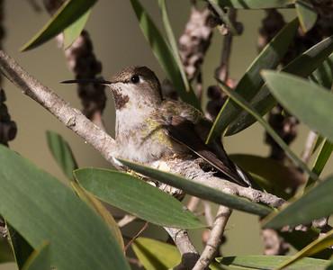 Anna`s Hummingbird  Aviara 2015 02 25 -1.CR2