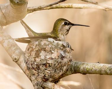 Anna`s Hummingbird San Elijo Lagoon 2016 02 08-1.CR2