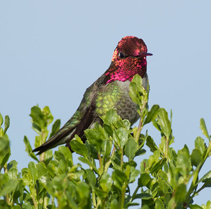 Anna`s Hummingbird  Agua Hedionda 2012 04 04-1.CR2