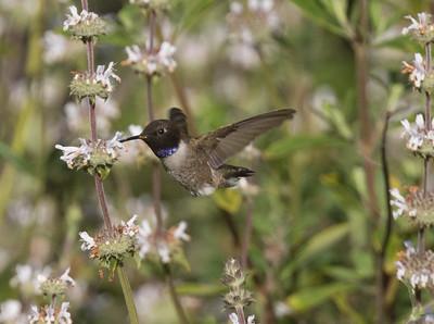 Black-chinned Hummingbird Sorento Valley 2019 04 13-3.CR2