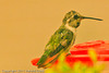An Anna's Hummingbird taken Nov. 3, 2011 near Tucson, AZ.