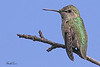 An Anna's Hummingbird taken Apr 15, 2010 in Sacramento, CA.