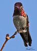 An Anna's Hummingbird taken Feb 11, 2010 in Gilbert, AZ.