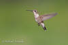 Black-chinned Hummingbird (Archilochus alexandri), Female.