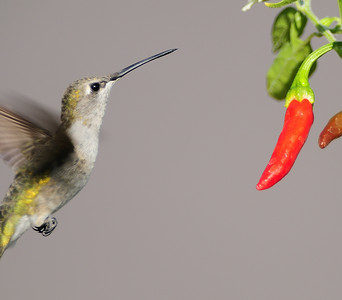 Black-chinned Hummingbird and red Thai Chile