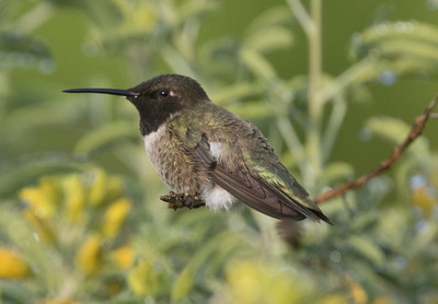 Black-chinned Hummingbird Penesquitos Canyon 2019 04 06-6.CR2