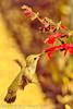 A Black-chinned Hummingbird taken Feb. 25, 2012 in Tucson, AZ.
