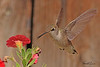 A Black-chinned Hummingbird taken Aug 15, 2010 in Fruita, CO.
